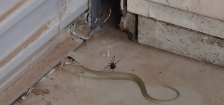 Giant Redback Spider Catches A Snake… The End Is Horrible